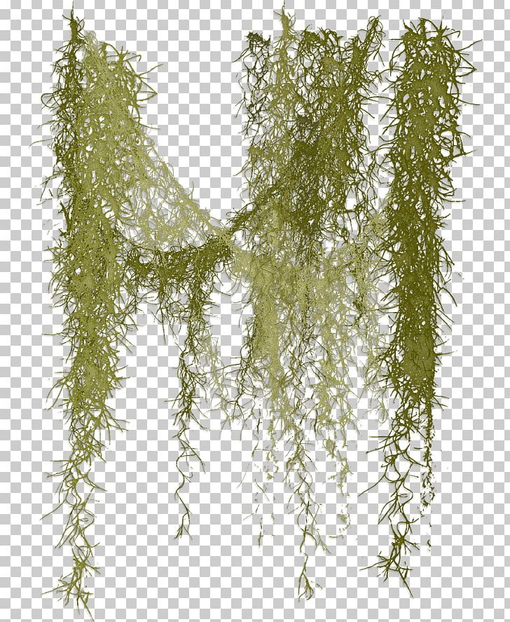 Spanish Moss PNG, Clipart, Botany, Branch, Clip Art, Drawing.