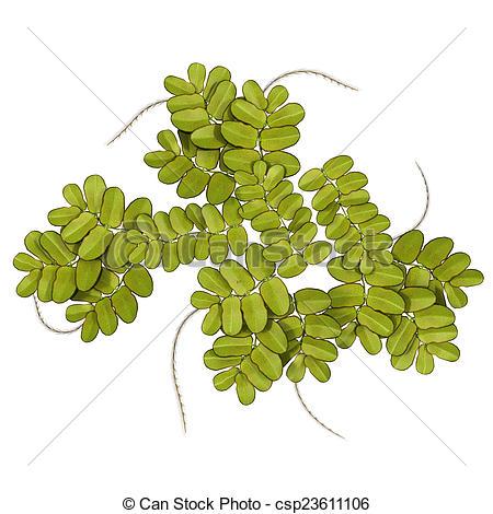 Stock Photography of Azolla (mosquito fern, duckweed fern, fairy.