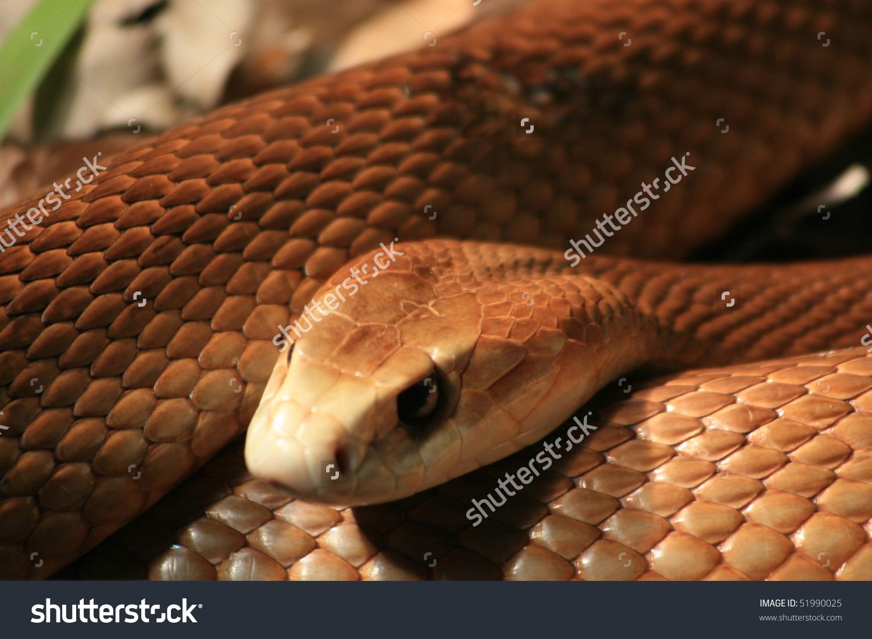 Taipan Most Poisonous Snake World Stock Photo 51990025.