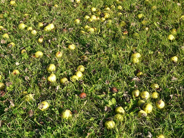 Free pictures PEARS.