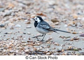 Picture of White wagtail (Motacilla alba).