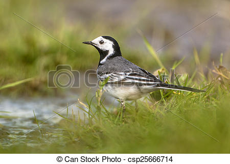 Stock Photography of white wagtail male.