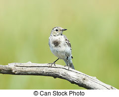 Picture of White Wagtail (Motacilla alba) resting in a Meadow on a.