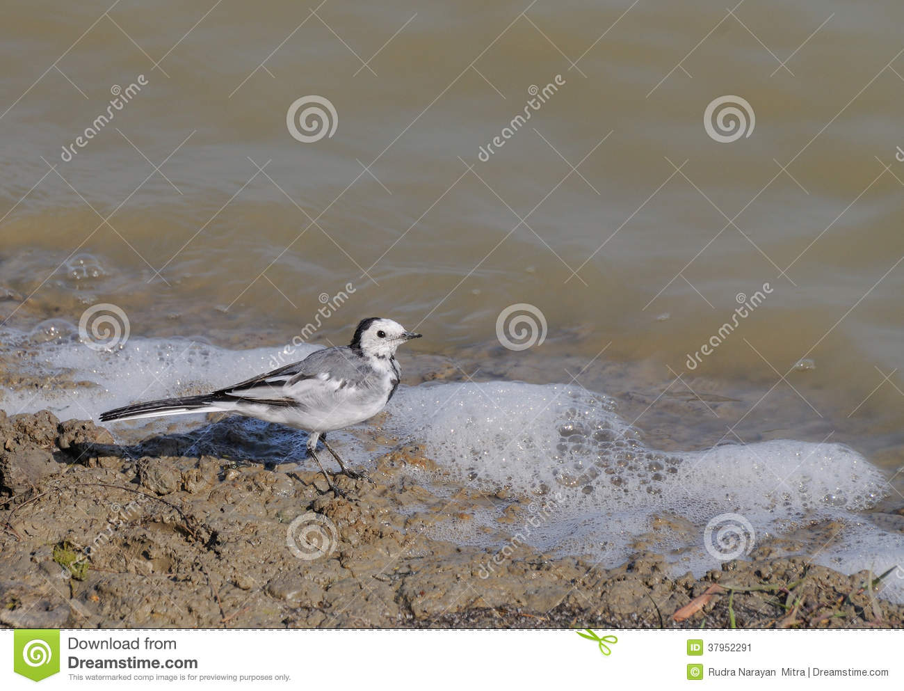 White Wagtail Bird (Motacilla Alba Dukhunensis) Stock Image.