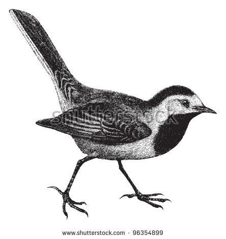Vector Images, Illustrations and Cliparts: White Wagtail.