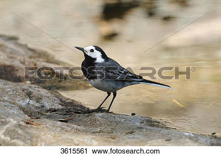 Stock Photography of White Wagtail (Motacilla alba) near water.