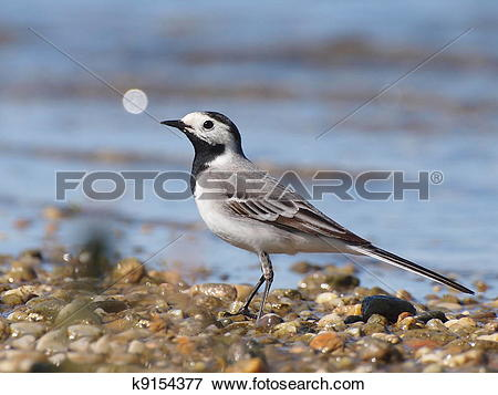 Picture of White Wagtail, Motacilla alba k9154377.