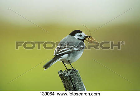 Stock Photo of White Wagtail (male) with nisting material.
