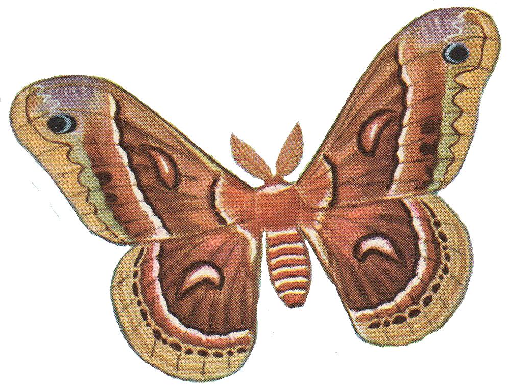Luna Moth Clipart.