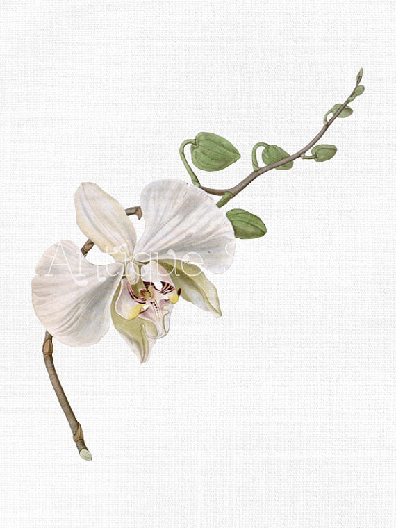 White Flower Clipart 'Moth Orchid' Branch Vintage by AntiqueStock.