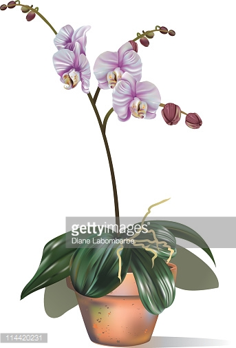 Moth Orchids Clip Art Stock Illustrations And Cartoons.