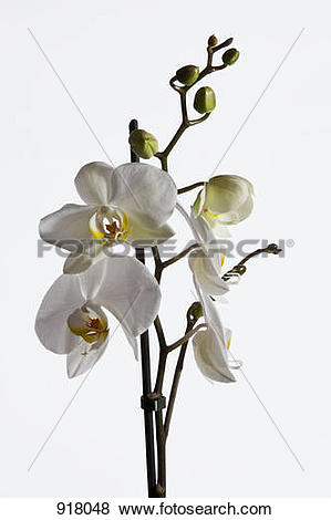 Pictures of White Moth Orchid (Phalaenopsis) 918048.