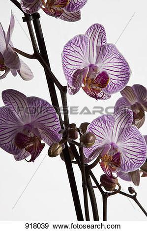 Stock Photograph of Moth Orchid hybrid, (Phalaenopsis spp.) 918039.