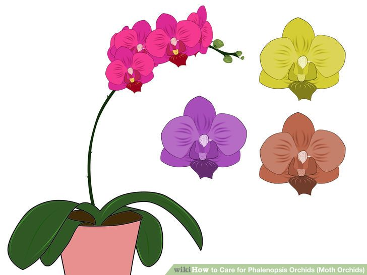 How to Care for Phalenopsis Orchids (Moth Orchids): 7 Steps.