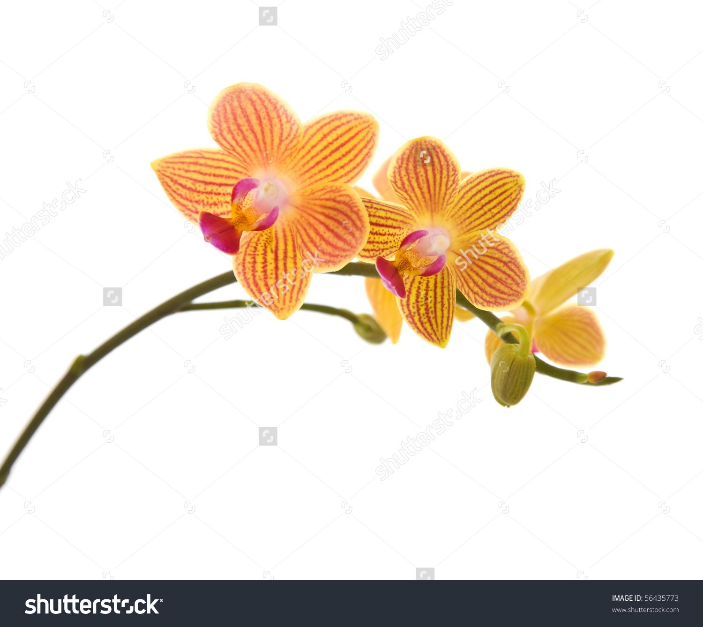 Orange Yellow Pink Stripy Phalaenopsis Orchid Stock Photo 56435773.