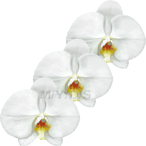 Moth Orchid, Phalaenopsis clipart / Free clip art.