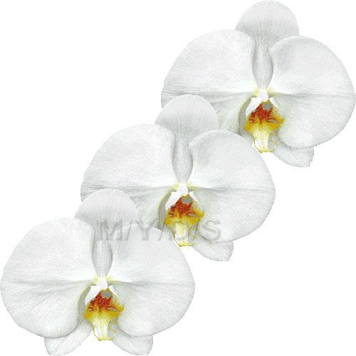 Moth Orchid, Phalaenopsis clipart / Free clip art.