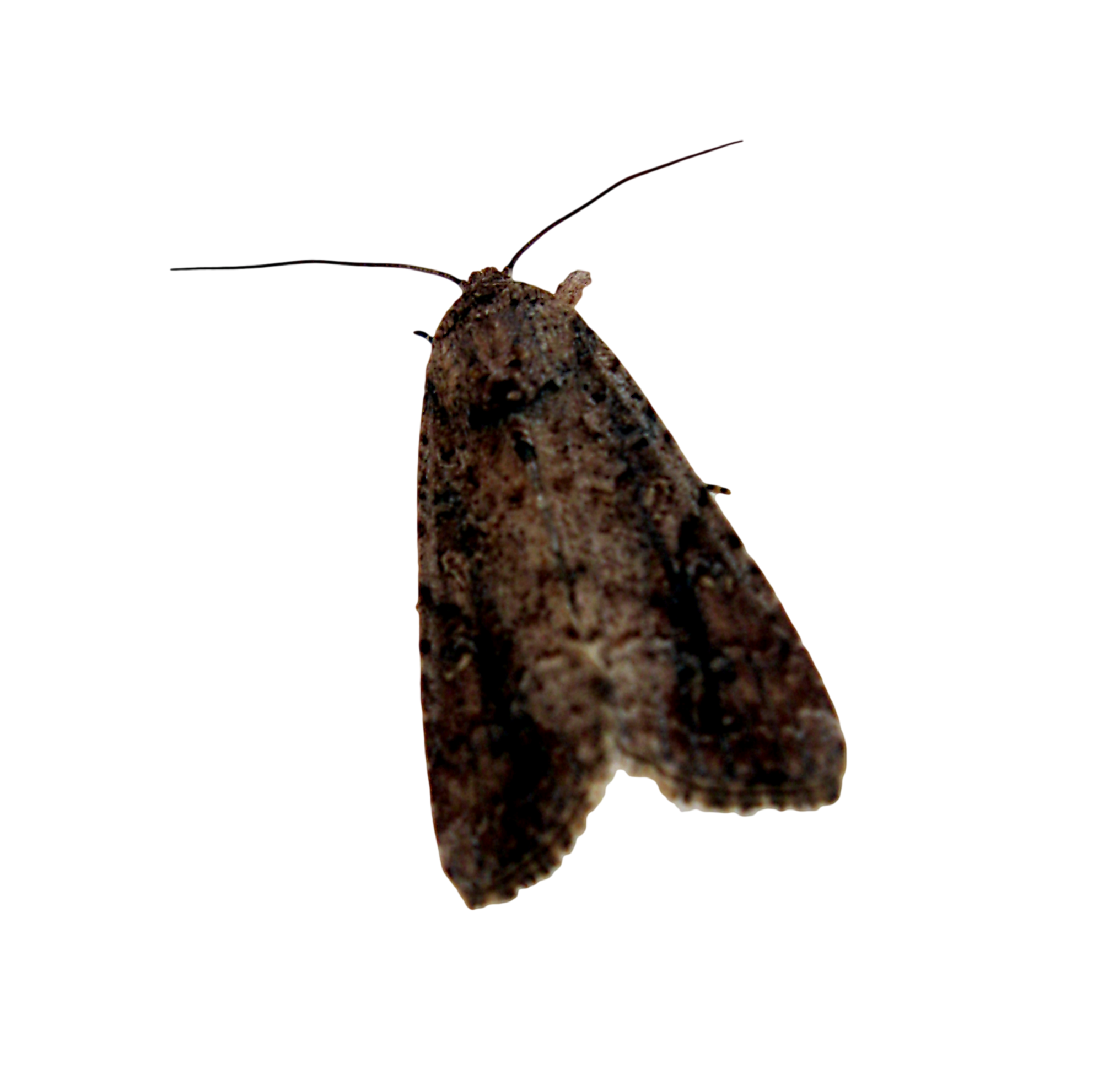 Moth PNG Images Transparent Free Download.