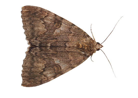Moth PNG Images.