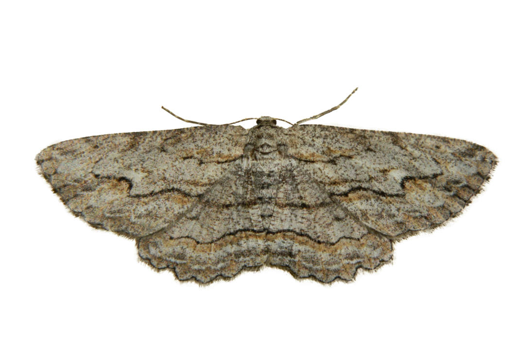 Moth PNG Photo.