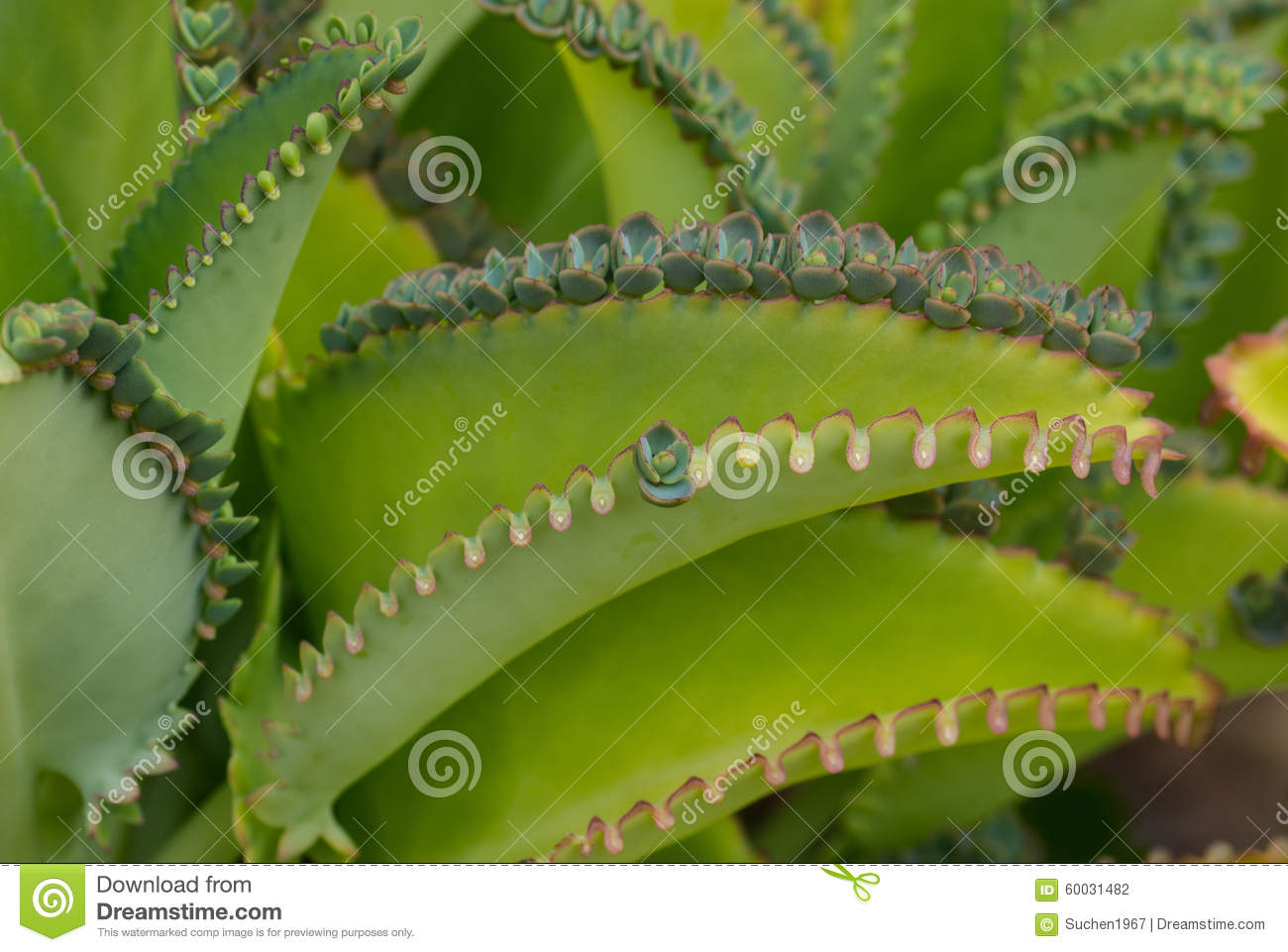 Bryophyllum Stock Photos, Images, & Pictures.