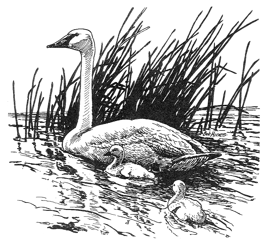 Trumpeter Swan mother with cygnet.
