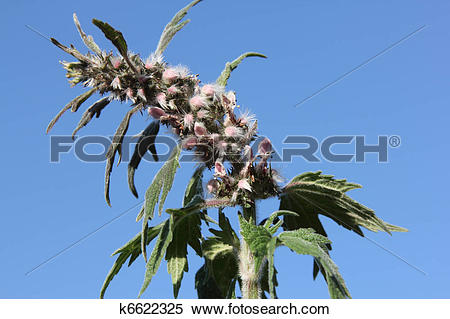 Stock Image of Motherwort.