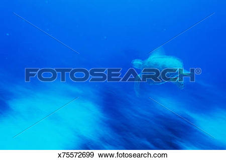 Stock Photograph of Loggerhead turtle (Caretta caretta) swimming.