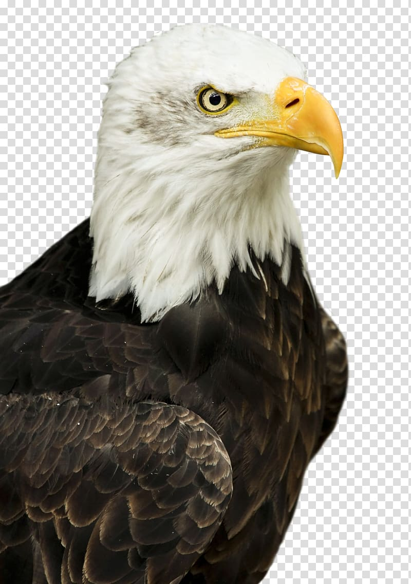 Master Moto Taxi Hawk, Eagle transparent background PNG.