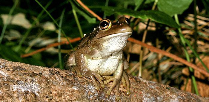 Motorbike Frog.