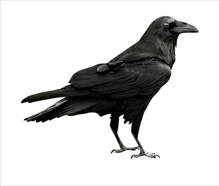 1000+ ideas about Crow Images on Pinterest.