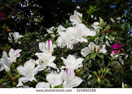 Mount azalea clipart #10