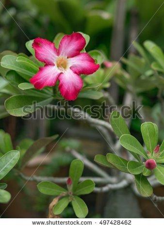 Azalea Tree Stock Photos, Royalty.