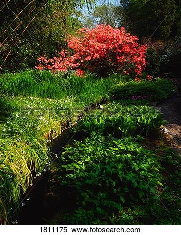 Stock Image of Mount Usher Gardens, Co Wicklow, Ireland; Azalea.