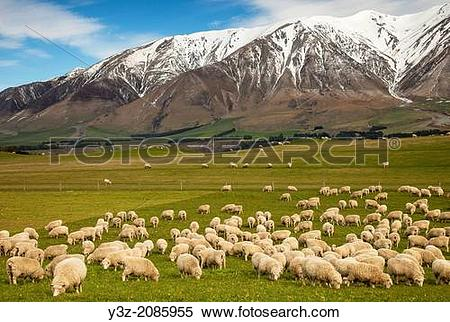 Stock Image of Pregnant ewe sheep grazing, spring growth under Mt.