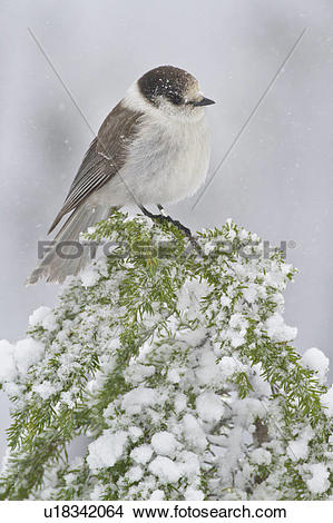 Stock Photo of Gray Jay (Perisoreus canadensis) perched on a.
