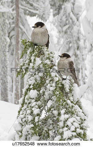 Pictures of Gray Jay (Perisoreus canadensis) perched on a branch.