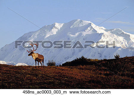 Stock Photo of Bull caribou Mt McKinley Alaska Range Interior AK.