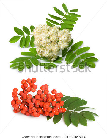 Sorbus Aucuparia Stock Photos, Royalty.