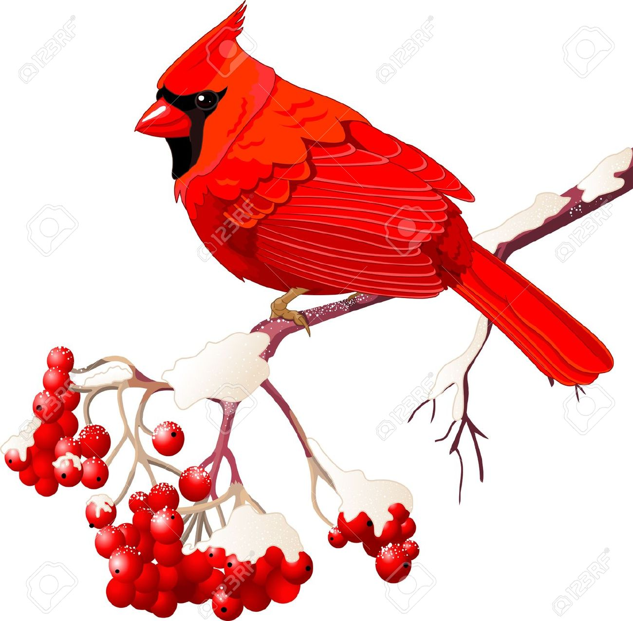 Red Cardinal Bird Sitting On Mountain Ash Branch Royalty Free.
