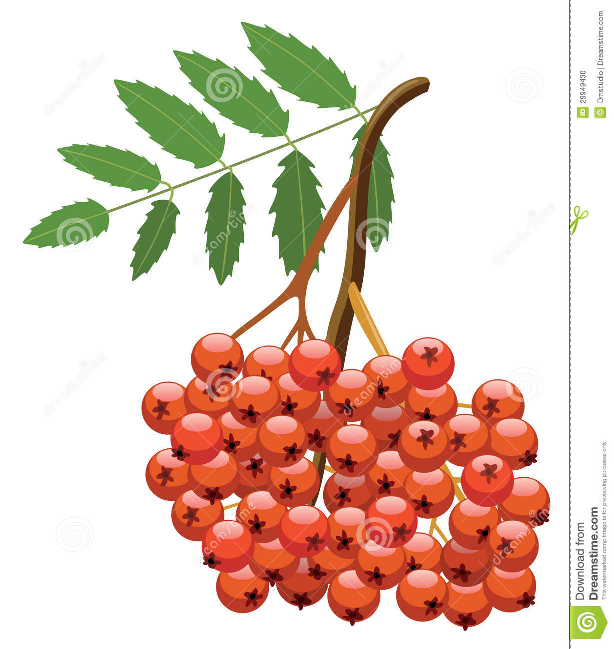 Vector Berries Of Mountain Ash Tree Stock Photo.