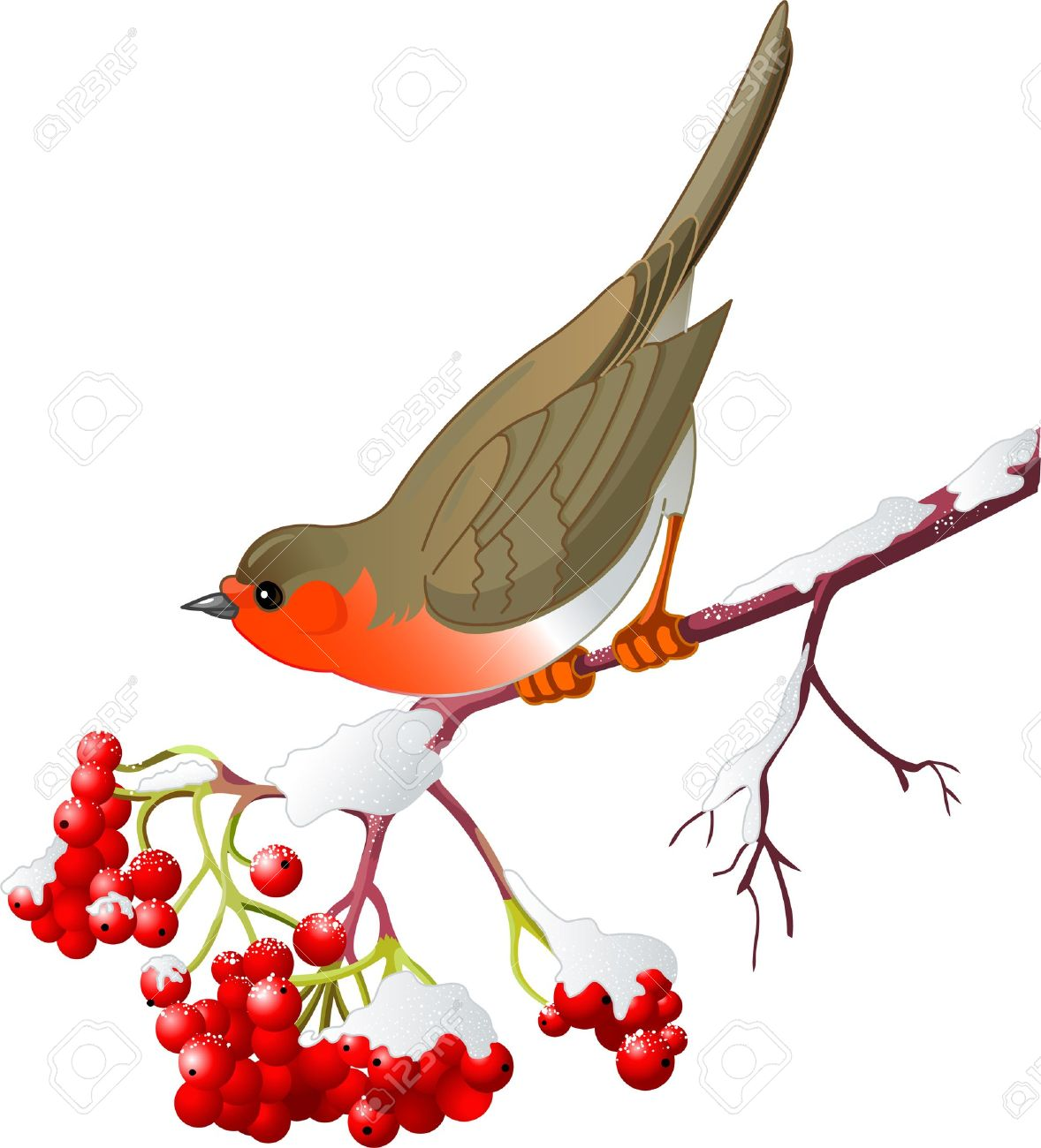 Cute Robin Sitting On Mountain Ash Branch. Isolated On White.