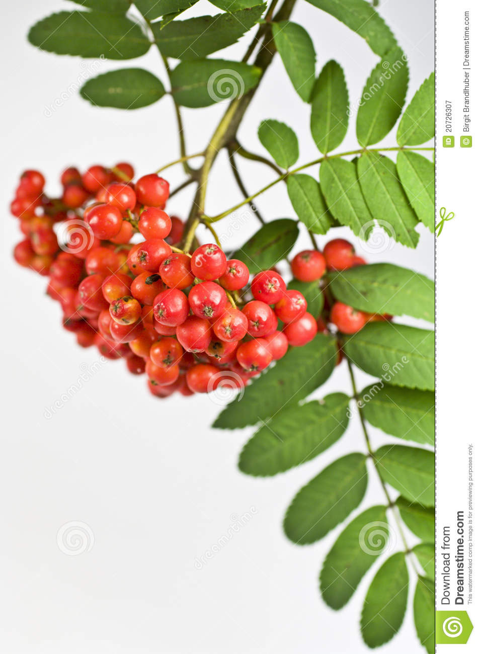 Mountain Ash Berry Royalty Free Stock Photography.