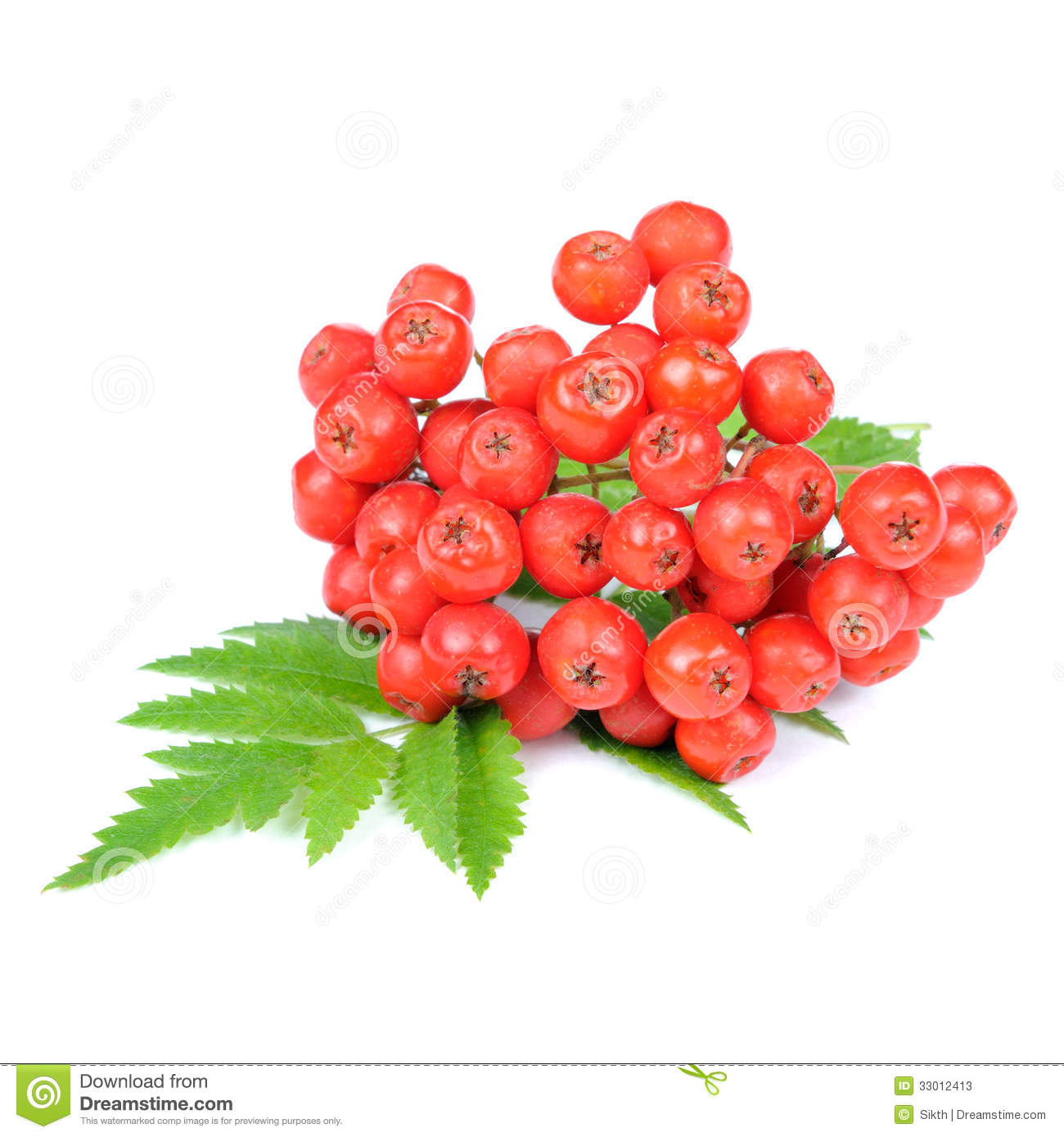 Mountain Ash Berries And Leaves, Close Up Stock Photo.