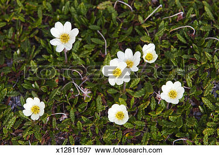 Picture of Mountain avens growing on tundra in Arctic x12811597.