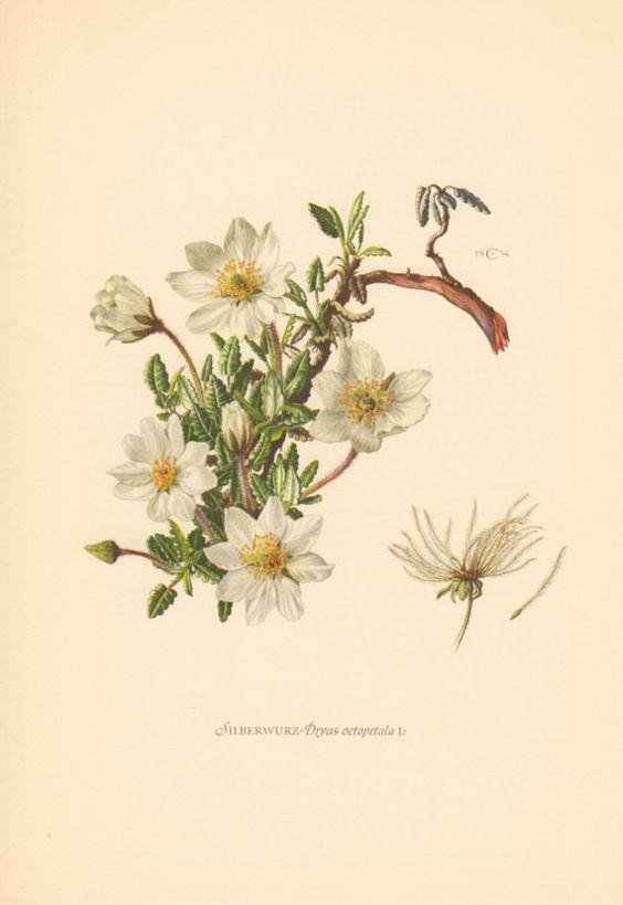 1954 Mountain Avens Vintage Botanical Lithograph Flora.