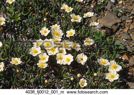 Stock Photo of Mountain Avens flowers in Denali National Park.
