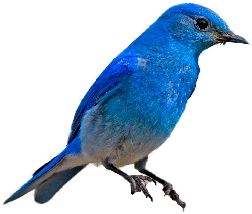 Mountain bluebird clipart - Clipground
