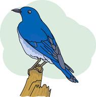 Mountain Bluebird Clip Art.