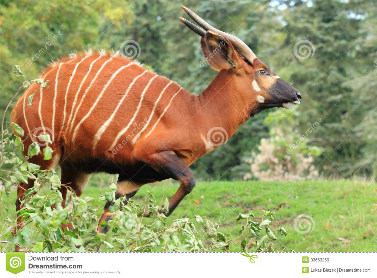 Mountain Bongo Royalty Free Stock Images.